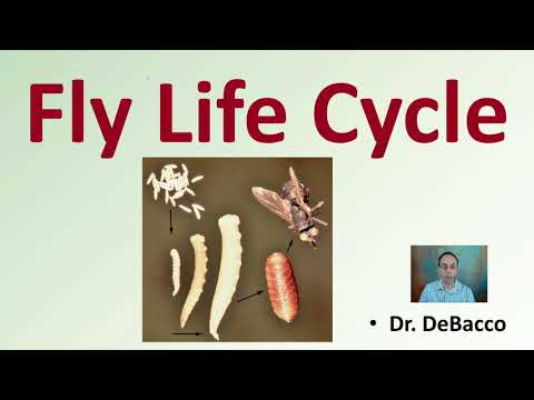 Fly Life Cycle