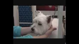 Le Toilettage Canin - 6.  West Highland White Terrier