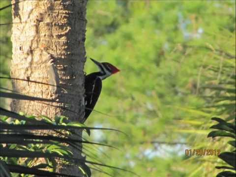 Sound of a Pileated Woodpecker