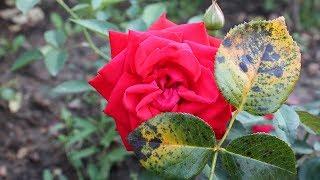 Розы без черной пятнистости  Самые устойчивые сорта