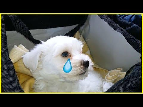 🐾 Щенок Мальтезе описал весь дом / Подарили собаку /First Day Puppy Jack At Home