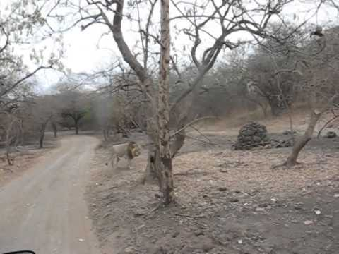 Indian lion gir forest gujraat