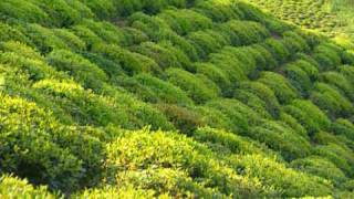 Tea Farm, Iran by Asiatravel.com