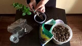 Ficus Retusa / Фикус Притупленный / Пересадка / Комнатные растения