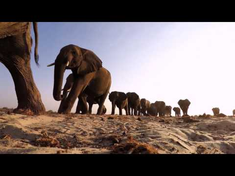 Studying Elephant Communication | HHMI BioInteractive Video