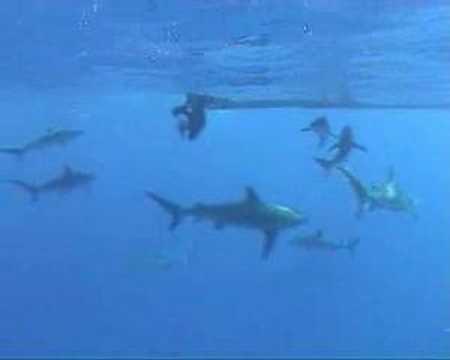 Shark Encounter In Cuba