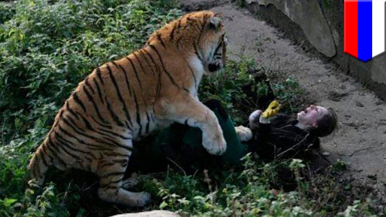 Pegawai Kebun Biantang Diserang Harimau Untung Diselamatkan Pengunjung Tomonews Youtube