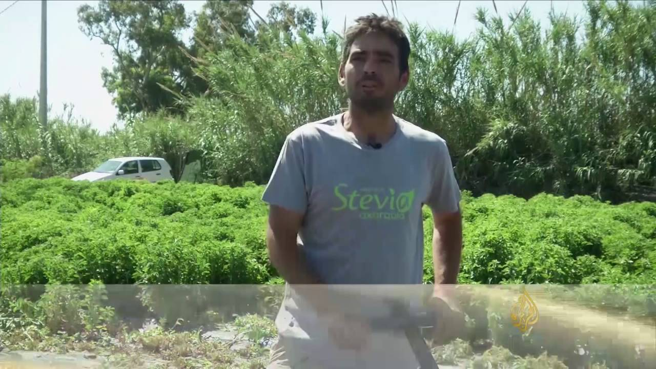 f94c9aeba نبتة ستيفيا بديل السكر.. الفوائد والمحاذير - YouTube
