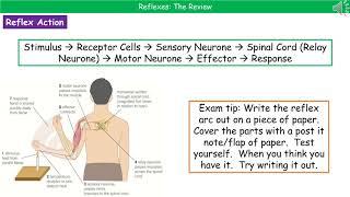 B3.1.2 - Reflexes Summary