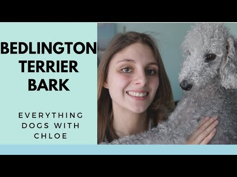 BEDLINGTON TERRIER BARKING - BEDLINGTON TERRIER DOG