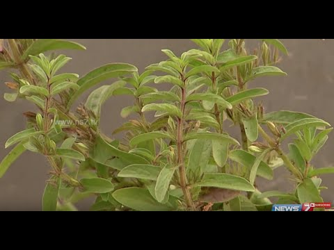 Grow Gopuram Thangi herb at your Garden | Stop Hair Loss | Poovali | News7 Tamil