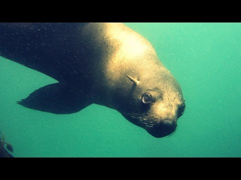 Namibia's Cape Fur Seals