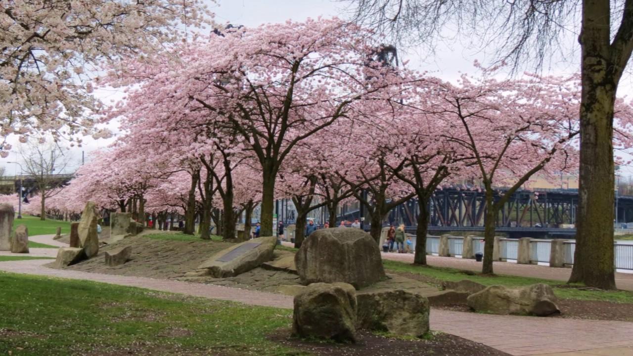 Cherry Blossoms Portland Or 2017 03 Cherry Blossom Portland Blossom