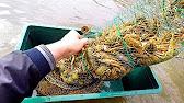 Подводная охота в Астрахани. Сомы. Сазаны. Ловим рыбу руками .
