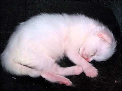 Slideshow of a White Maine Coon kitten growing up from birth