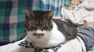 パパのおなかの上に乗るのが大好きな猫☆香箱座りする甘えん坊猫リキちゃん【リキちゃんねる 猫動画】Cat video キジトラ猫との暮らし thumbnail