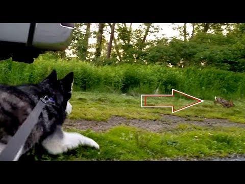 Siberian Husky: Let me Go, I Want a Bunny for Dinner!