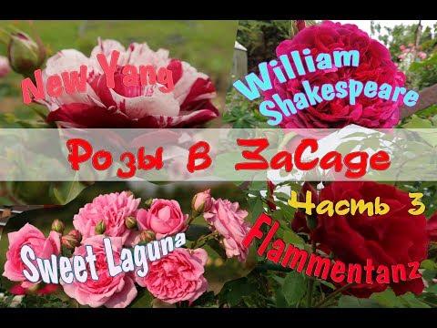 Розы в ЗаСаде: Flammentanz, Sweet Laguna, New Yang, William Shakespeare (William Szekspir). Часть 3