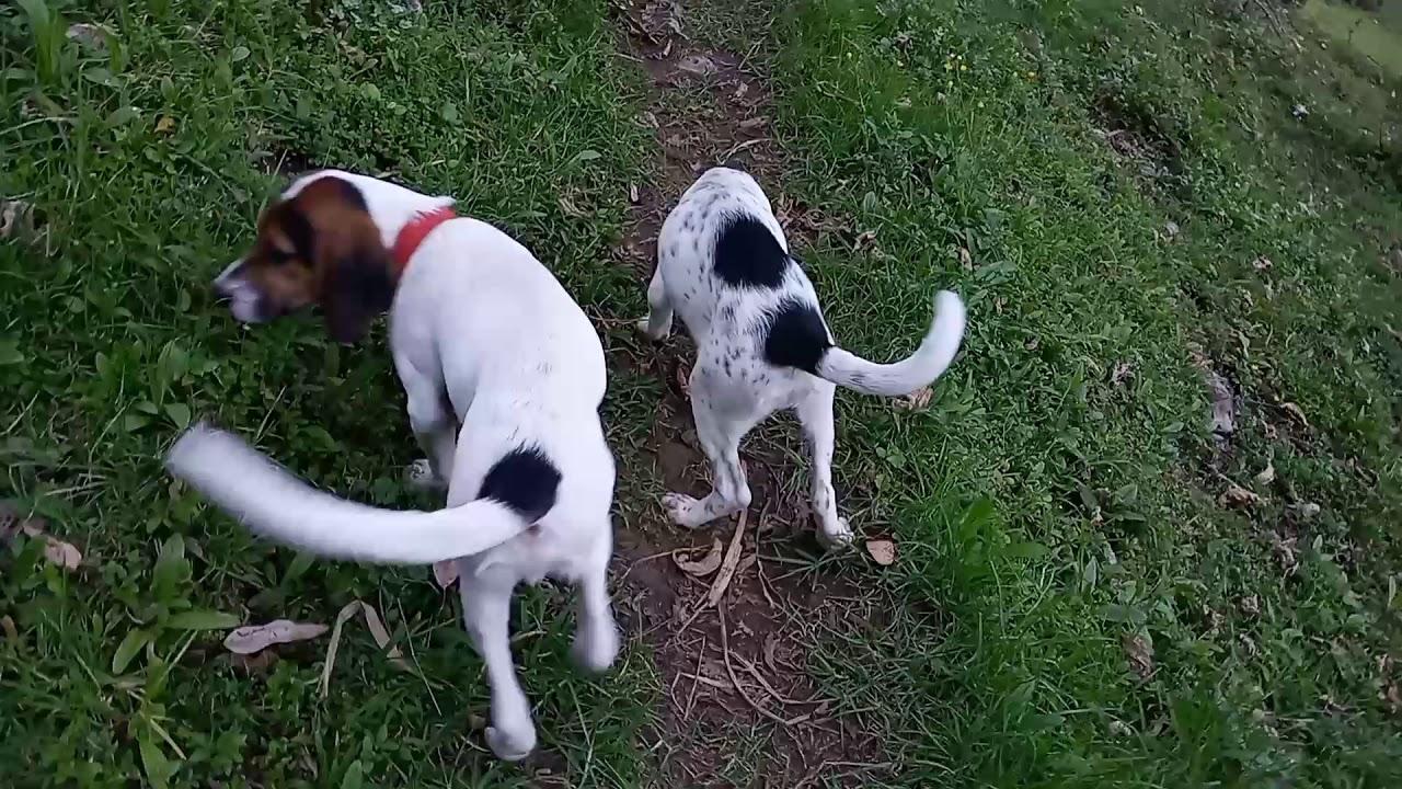 Download Consejos para tus Perros de Cacería,  Beagle, Sabueso.