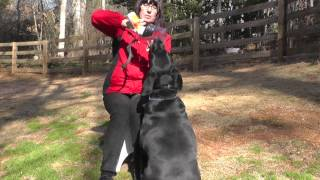 Kyle, Labrador, Episode 7 (muzzle Training) - Sit Up N Listen Dog Training
