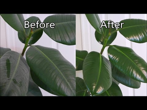 how-to-polish-houseplant-leaves-(rubber-plant)