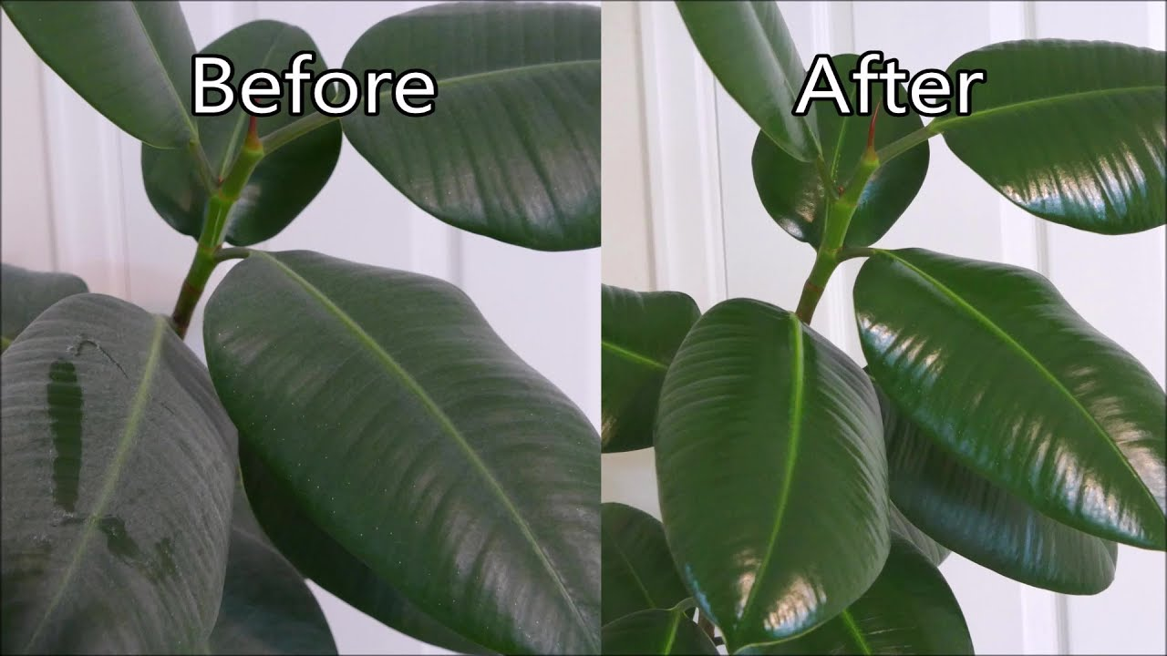 How To Polish Houseplant Leaves (Rubber Plant) House Plant Leaf Shine on house plant holders, house plant orchids, house plant liquid plant food, house plant pots, house plant cacti, house plant anthurium, house plant trays, house plant fertilizers, house plant vases, house plant pedestals, house plant moss, house plant cleaning, house plant insecticide, house plant fungicide, house plant spray,