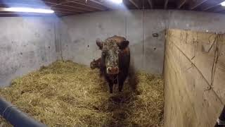 CALVING REALLY GETS GOING.... Video