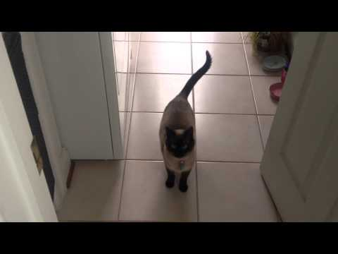 The sweetest most adorable Siamese cat meow