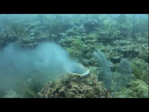Portions Of Aug 12 Dive, Including Barrel Sponges Spawning
