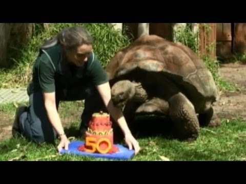 This 440Pound Tortoise Celebrated His 50th Birthday With A