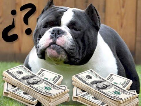 Cuanto cuesta comprar un american bully o un pitbull $$$$$