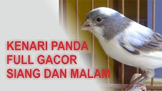 Download lagu KENARI PANDA FULL GACOR SIANG MALAM , COCOK UNTUK MASTER KENARI ANDA .