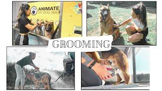 Grooming a German Shepherd