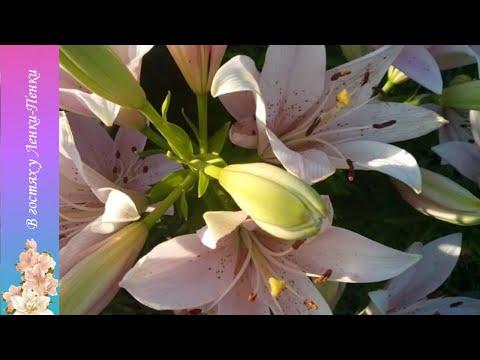 Лилии. Посадка маленьких Лилий и их чешуек в грунт. Посадка в домашних условиях в зиму.
