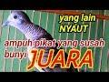 Suara Perkutut Lokal Gacor Ampuh Untuk Pikat Dan Pancingan  Mp3 - Mp4 Download