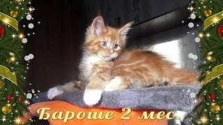 ЛИРИКУМ Бароян Бестович 2 мес. красивый  солнечный котенок мейн-кун