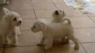 White Miniature Schnauzer Puppies - Abella Barba Kennel