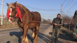 Cai grei armăsar pentru montă 2019 calul lui Dl Vasile din Todirești