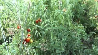 Урожай ТОМАТОВ. Результат моего метода.(По просьбе тех ,кто высказывает сомнения по поводу моего урожая помидоров, видео об урожае томатов 2015 г.,..., 2015-08-22T23:32:50.000Z)