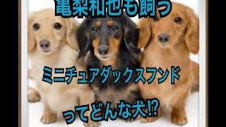 ペットで犬を飼おうと迷っている方へ〜ミニチュアダックスフンド〜 世の...