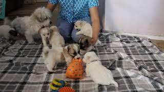 Coton Puppies For Sale - Vivian 8/3/21