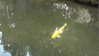Zig Zag Bridge & Koi Fish - Portland Japanese Garden