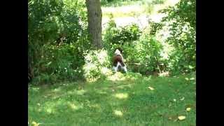 Moki-a Mid Atlantic English Springer Spaniel Rescue Dog Another Video