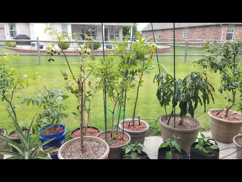 Container Tropical Fruit Trees | May 2017 Update