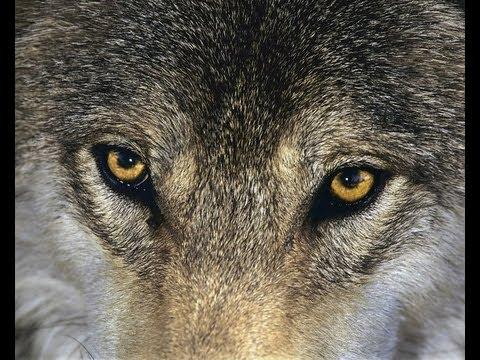 Белый Орел - Одинокая волчица слушать онлайн