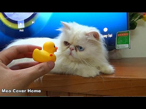 So Funny Cat Play With Duck Toy | Ducks Toy And Cat 2016 | Meo Cover Home