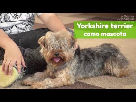 PERRO:  Yorkshire terrier como mascota