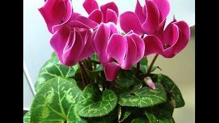 цикламен / cyclamen(This video is about cyclamen http://youtu.be/nIrdb6Wd14o Это видео о прекрасном растении Цикламен и как о нем заботиться Почему..., 2014-11-05T01:09:18.000Z)