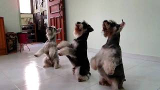 Fun & Amazing Synchronized Triple Dog Tricks Performed By My Three Mini Schnauzers