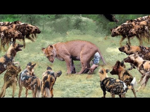 Pack of Hyena and Wild Dogs Attack Lion